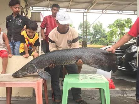 Ini Kata pakar IPB Tentang Ikan Arapaima di Sungai Brantas
